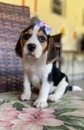 Beagle Femea com pedigree e garantia de saúde