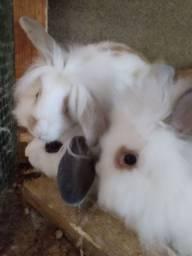 Vendo coelhos pet
