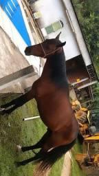Vendo cavalo mangalarga
