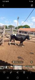 Título do anúncio: 06 VACAS LEITEIRAS/01 BEZERRO