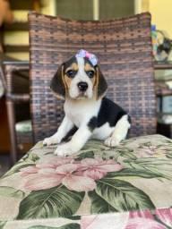 Beagle lindíssima com pedigree