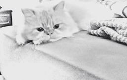 Alguma namorada para meu gato persa?