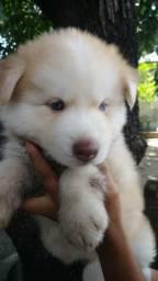 Cães Husky