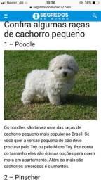 Poodle micro ou toy