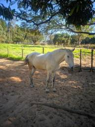 Cavalo mangolino