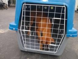 Cão boxer, 500 reais