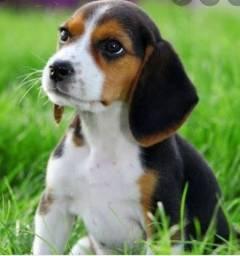 Procuro filhote de Beagle