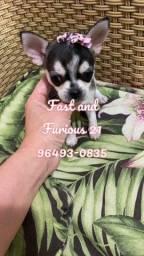Bela mocinha de Chihuahua pelagem curta
