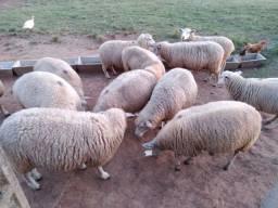 Ovelhas e cordeiro a kg  estao em viamão nao respondo chat *