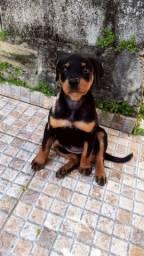 Cachorro Rotweeiler