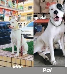 Título do anúncio: Filhotes Dogo argentino ótimo preço