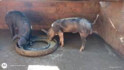 Título do anúncio: Vendo Porcos Pietrain