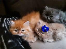 Título do anúncio: Gatos Persa Temos Lindos Filhotes M/F