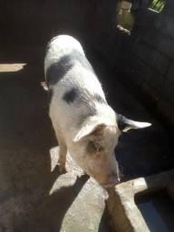 Porca para reprodução