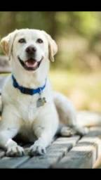 Compro filhote de Labrador
