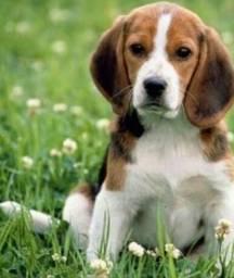 Beagles machos tricolor 13 polegada, baixei pra vender o cachorro vai fazer 8 mês