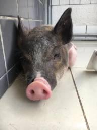 Filhote de porco exótico PROMOÇÃO HOJE