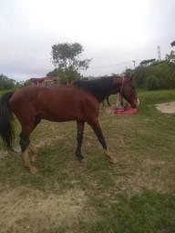 Cavalo com ótimo preço