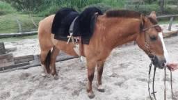 Cavalo Criolo muito dócil