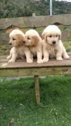 Canil Canaã- Lindos filhotes de Golden Retriever Disponíveis