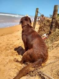 Labrador marrom