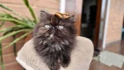 Gato persa fêmea maravilhosas