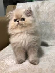 Gato persa (coloração Himalayan)