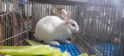 coelhos brancos e Nova Zelândia