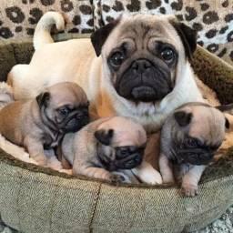 Título do anúncio: Filhotes de Pug!!!!!