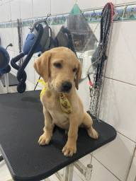 Título do anúncio: Labrador Puro - Filhote