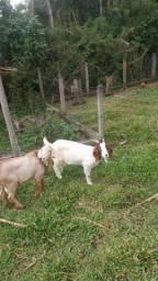 Vendo cabra branca boer