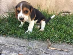 Filhotes de Beagle puros Vacinados e vermifugados com 45 dias