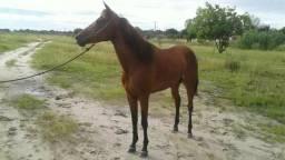 Vendo egua de corrida