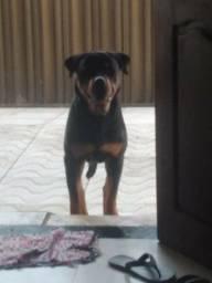 Cachorro com pedigre disponivel cruza