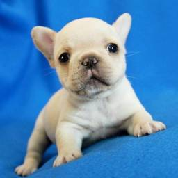 Bulldog Francês, macho e fêmea á pronta entrega