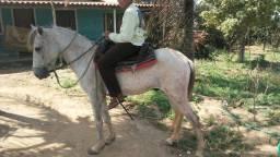 Cavalo meio sangue mangalarga