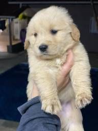 Golden retriever com pedigree e microchip ate 18x