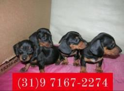 Lindos Filhotes de Basset, Poodle, Beagle, Lhasa Apso