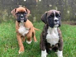 Boxer, macho e fêmea com garantias de vida e saúde
