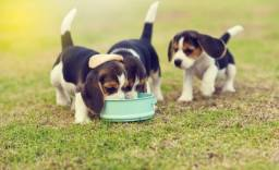 Maravilhosos Filhotes de Beagle 13 Polegadas com Pedigree e Microchip