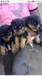 Filhotes de Rottweiler alemão lindos