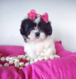 Shih tzu fêmea a mais bela do RS