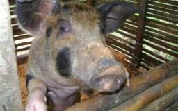 Porcos novos