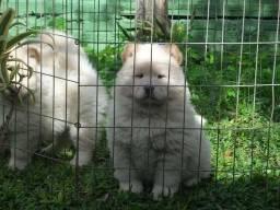 Chow-chow - Canil especializado nesta raça - Pedigree CBKC