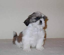 Venda permanente de shih tzu Canil PS