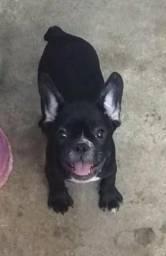 Macho 2 meses, Bulldog francês
