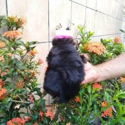 Lindas cadelinhas da raça Yorkshire terrier