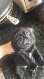 Pugs black Machos