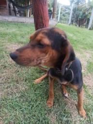 Filhote cachorro beagle