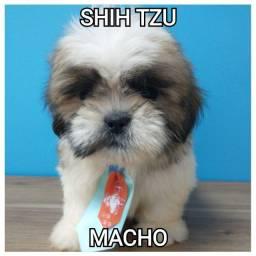 Shihtzu macho bb com 50 dias ja com microchip